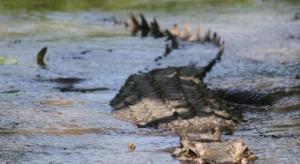 Foto de internet - cocodrilo en la superficie del agua