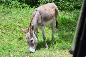 Foto de internet - Mulo pastando